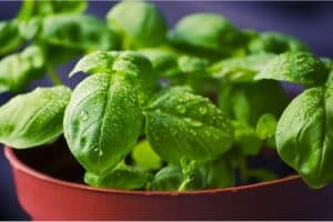 What's great about basil for pregnant women?