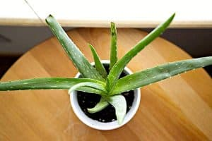 Is it okay to consume Aloe Vera juice for constipation during pregnancy?