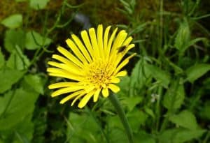 Can I take Arnica for pain relief instead of the usual NSAID during pregnancy?