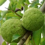 Why should you have breadfruit during pregnancy