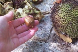 What is the right way to have breadfruit seeds during pregnancy?