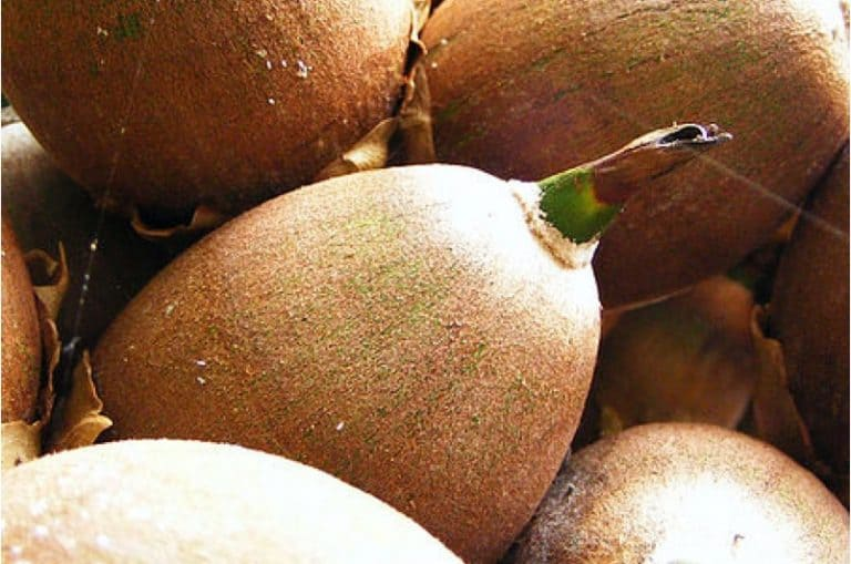 Can pregnant women have breadnut seeds