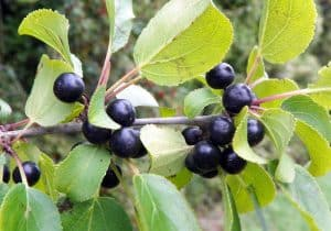 Can I have Buckthorn fruit when pregnant?