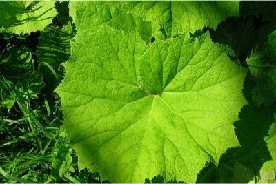 Can I have Butterbur during pregnancy