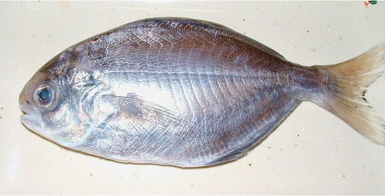 What are the benefits of having butterfish during pregnancy
