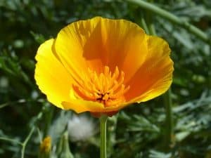 Can I have California Poppy when pregnant?