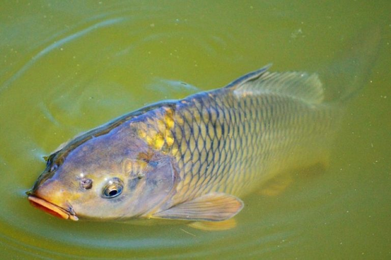 Carp fish is so rich in nutrients. Why should I have it with caution during pregnancy