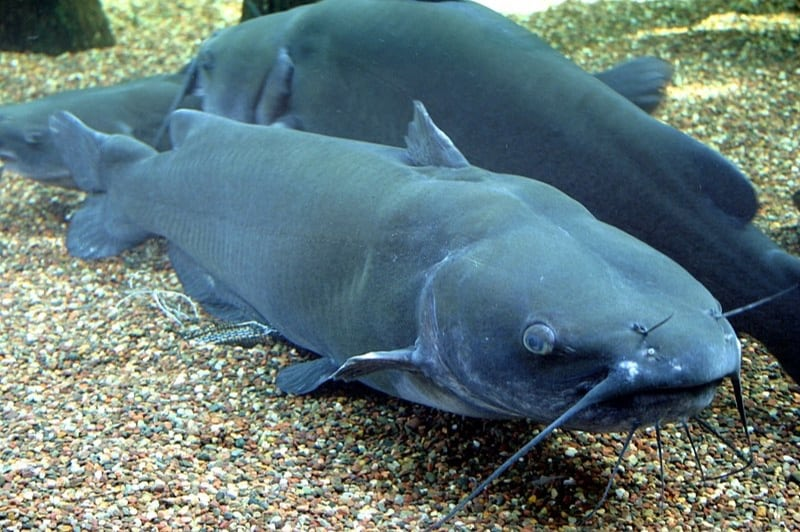 Is catfish a good source of nutrients during pregnancy
