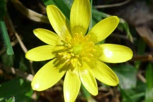 Can I have Celandine when pregnant?