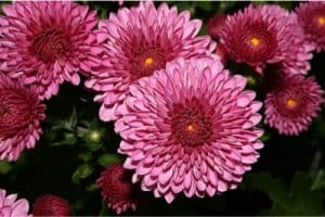 Can I include chrysanthemum in my pregnancy diet?