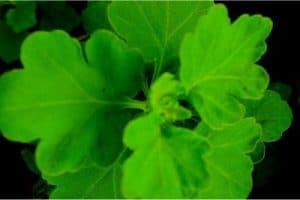 Can pregnant women eat chrysanthemum leaves?