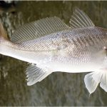 What are the benefits of having croaker fish during pregnancy