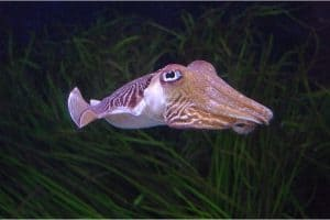 Is it safe to have cuttlefish during pregnancy?