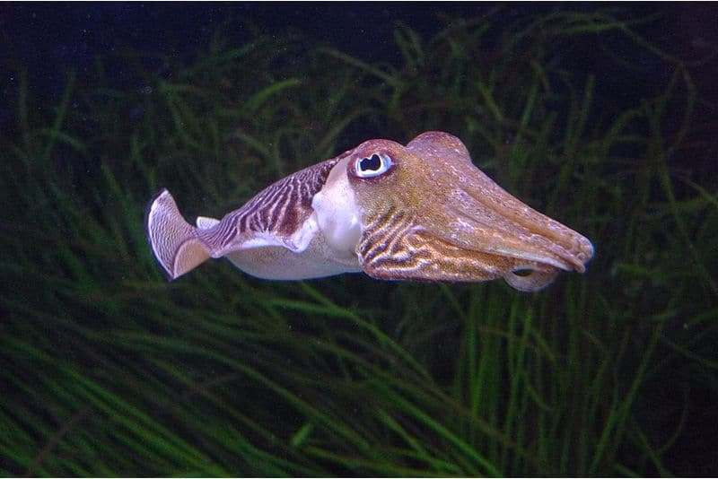 is it safe to have cuttlefish during pregnancy