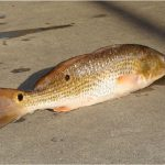 Freshwater drum fish is so nutritious. Why should I be cautious while having it during pregnancy