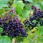 What parts of elderberries should I avoid during pregnancy