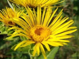 Can I have Elecampane when pregnant?