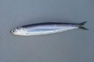 What are the benefits of having European Anchovy during pregnancy?