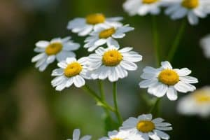 Can I have Feverfew when pregnant?