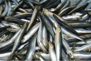 What are the benefits of having herring during pregnancy?