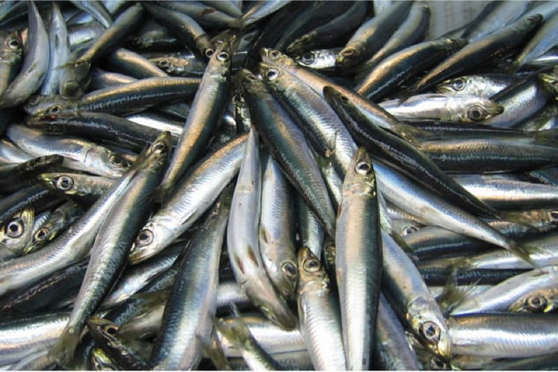 What are the benefits of having herring during pregnancy