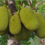 Does jack fruit have any nutritional benefits for pregnant women