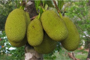 Does jack fruit have any nutritional benefits for pregnant women?