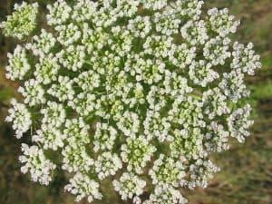 Toothpickweed