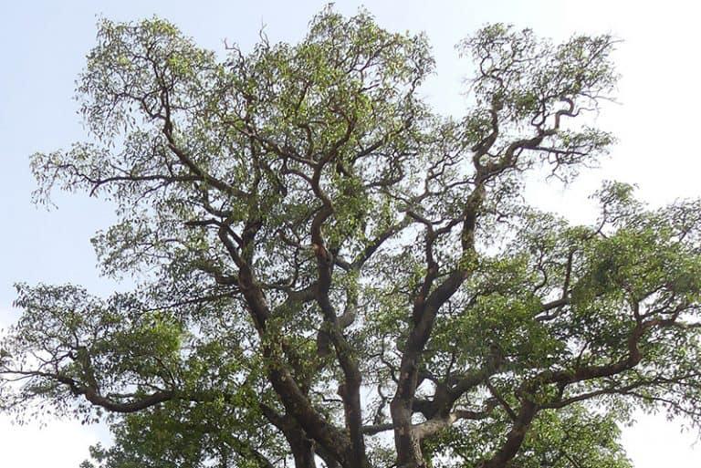African Redwood