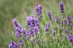 Can I have Lavender when pregnant?