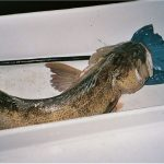 Should I be cautious while having lingcod fish during pregnancy