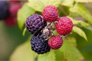 What are the nutritional benefits of having loganberries