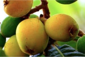 Can women have loquats during pregnancy?