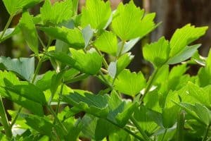 Can I have Lovage when pregnant?