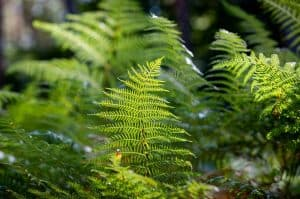 Can I have Male Fern when pregnant?