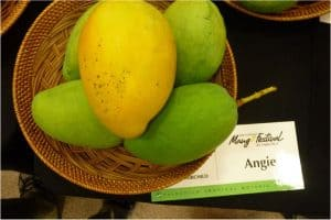 Are there any nutritional benefits of having mangoes during pregnancy?