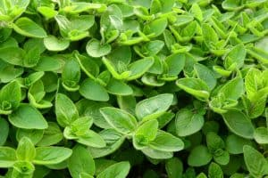 Can I have Marjoram when pregnant?