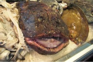 Why do pregnant women need to be careful while having monkfish?