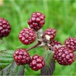 Can I have mulberries during pregnancy