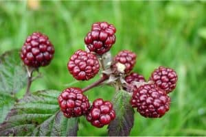 Can I have mulberries during pregnancy?