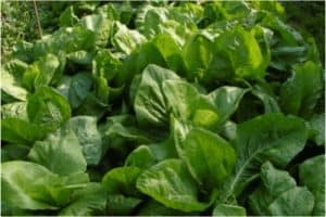 So there are no problems with eating mustard spinach during pregnancy