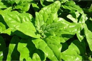 Can I have New Zealand spinach during pregnancy?