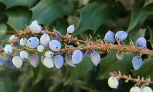 Can I have Oregon Grape when pregnant?