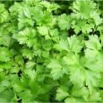 Is Parsley a problem for pregnant women