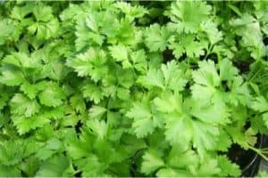 Is Parsley a problem for pregnant women?