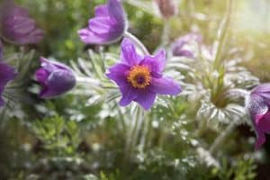 Can I have Pasque Flower when pregnant?