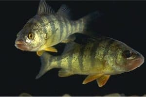 What benefits does perch have for me during pregnancy