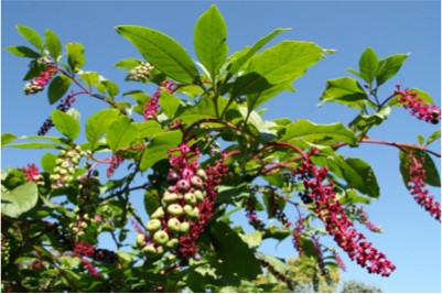 Do pokeberry shoots have vitamins that are good for pregnant women