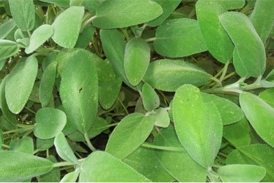 Is eating too much purslane during pregnancy a problem