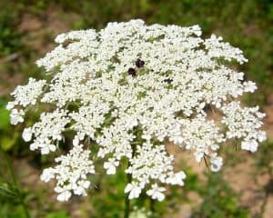 Can I have Queen Anne's lace when pregnant?